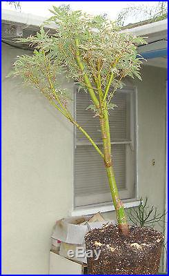 Japanese Maple Butterfly Pre Bonsai Dwarf Fat Big Large Trunk Variegated Acer