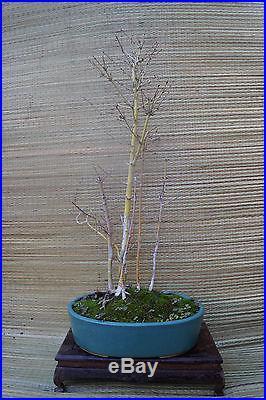 Japanese Maple Forest Bonsai