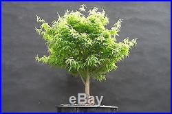 Japanese Maple 'Kashima' pre-bonsai PENNY START & NO RESERVE