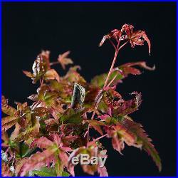 Japanese Maple Mame Shohin Bonsai Tree Acer Palmatum # 9542_1