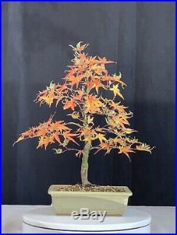 Japanese Maple Sharps Pygmy