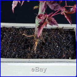 Japanese Maple Shohin Bonsai Tree Acer Palmatum # 9297_1