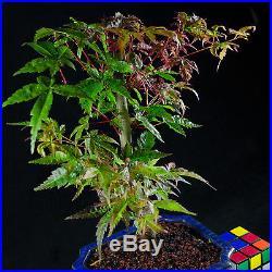 Japanese Maple Shohin Bonsai Tree Acer Palmatum # 9573_1