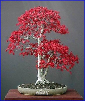 Japanese Maple Small Leaf Seeds (Acer Palmatum)- Rare
