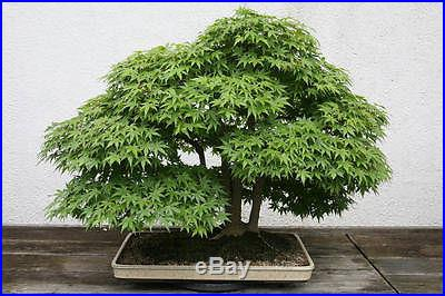 Japanese Maple Tree, Excellent outdoor Bonsai