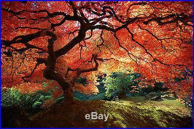Japanese Maple Tree, Excellent outdoor Bonsai Fresh seeds, Stunning tree