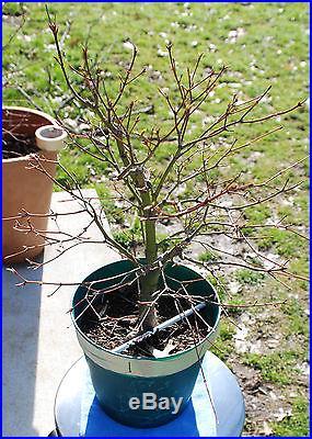 Japanese Maple pre-bonsai 1