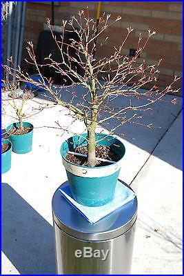 Japanese Maple pre-bonsai #2