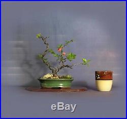 Japanese Quince pre bonsai tree Help me breathe Collection by Samurai-Gardens