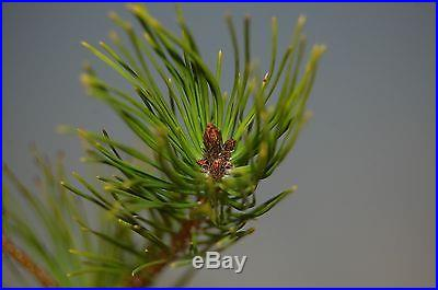 Japanese Red Pine Tree Seeding For Bonsai