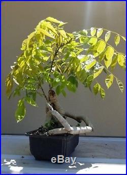 Japanese Royal Purple Wisteria Bonsai Tree, Sale