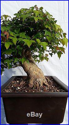 Japanese Trident Maple Bonsai Tree