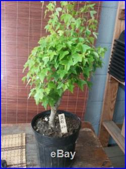 Japanese Trident Maple Bonsai Tree #612
