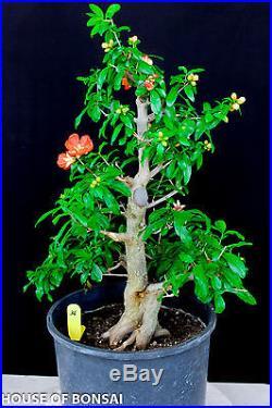 Japanese Twisted pomergranate specimen bonsai tree #36