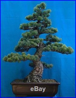 Japanese White Pine 15 Seeds/Seed Bonsai