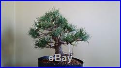 Japanese White Pine Bonsai 'NO RESERVE