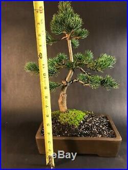 Japanese White Pine Bonsai Tree 30 Years Old 18 Tall Unglazed Pot