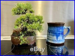 Japanese White Pine Bonsai Tree Rare Shohin