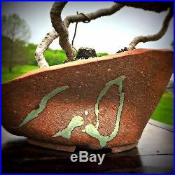 Japanese White Pine Bonsai with Exposed Roots by New England Bonsai Gardens