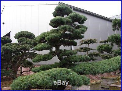 Japanese White Pine, Pinus parviflora, Tree Seeds