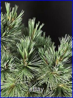 Japanese White Pine Pre Bonsai Tree 14 11 Years Old In Training Pot