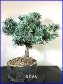 Japanese White Pine Pre Bonsai Tree 17 Tall Thick Trunk Nice Branching
