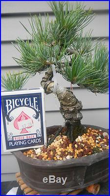 Japanese White Pine (shohin)