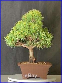 Japanese White Pine var. Catherine Elizabeth Bonsai Tree
