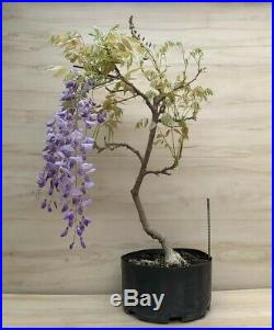 Japanese Wisteria Flowering Bonsai Purple HUGE Thick Trunk Specimen