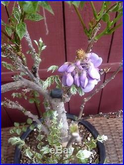 Japanese Wisteria Flowering Bonsai Specimen