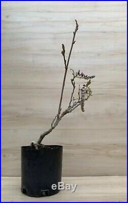 Japanese Wisteria Flowering Pre Bonsai Thick Trunk Nebari IN BLOOM