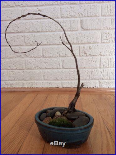 Japanese Wisteria Pre Bonsai Tree