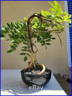 Japanese Wisteria Purple Bonsai Tree, Sale