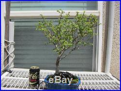 Japanese Zelkova Bonsai Tree