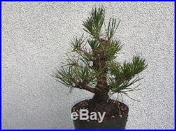 Japanese black pine(8pn818st)Nice base, branching, possible shohin size tree