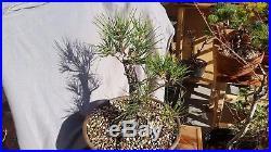 Japanese black pine (JBP) bonsai stock many options
