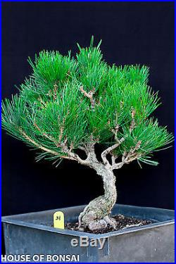 Japanese black pine'Mikawa' Root specimen bonsai tree # 31