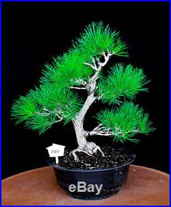Japanese black pine' Mikawa' specimen bonsai tree # 101