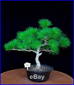Japanese black pine' Mikawa' specimen bonsai tree # 104