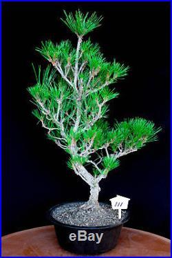 Japanese black pine' Mikawa' specimen bonsai tree # 111