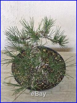 Japanese black pine bonsai, Nice old tree, beautiful base