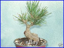 Japanese black pine bonsai stock(5pn106st)Nice movement, short, shohin size