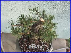 Japanese black pine bonsai stock(7pn1231)nice size, movement, branching
