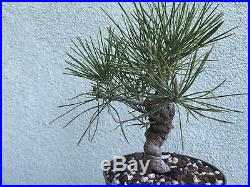 Japanese black pine bonsai stock(8twst320st)Nice twisting trunk, reverse taper, sm