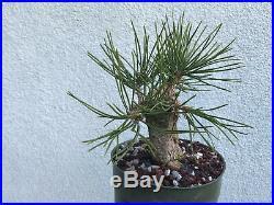 Japanese black pine bonsai stock(9pn39st)Nice short pine