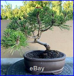 Japanese black pine bonsai (var. Yatsubusa)
