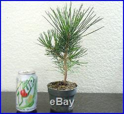 Japanese black pine for shohin mame bonsai tree #2