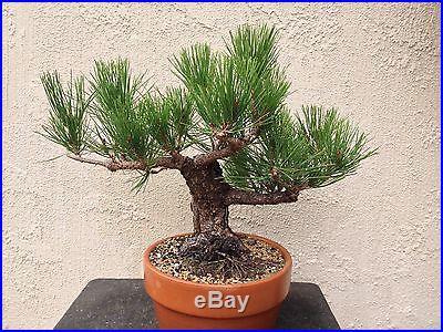 Japanese black pine pre bonsai