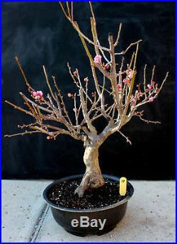 Japanese flowering apricot'Mume' specimen bonsai #39