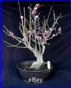 Japanese flowering apricot'Mume' specimen bonsai #52